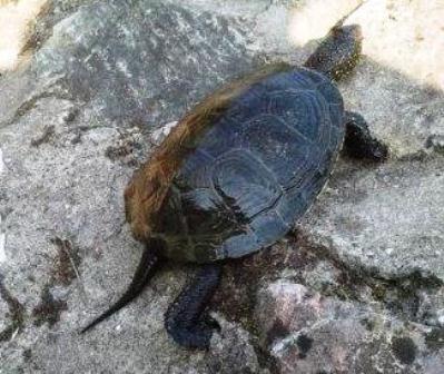 Spasimo barsku kornjaču na akumulaciji Modrac